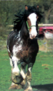 pic0006clydesdale.jpg